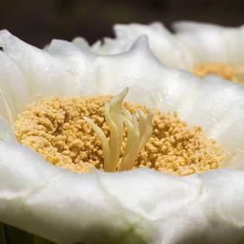 Ed  Cheremet - Saguaro Cactus Flower in Macro