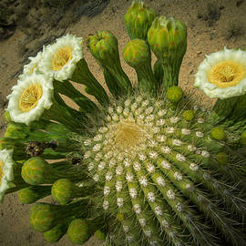 Ed  Cheremet - Saguaro Cactus from the top.