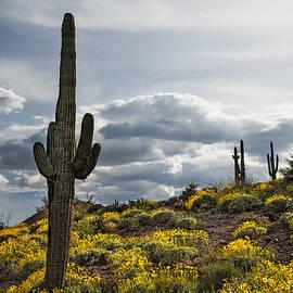 Dave Dilli - Saguaro Cactus in the springtime