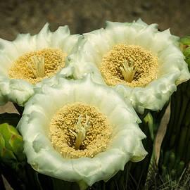 Ed  Cheremet - Saguaro Flower Macro
