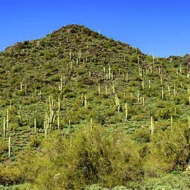 Robert Bales - Saguaro Hillside