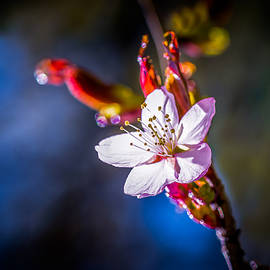 Sakura - Japanese cherry flower