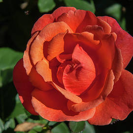 Sally Weigand - Salmon Rose