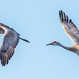Paul Freidlund - Sand Hill Cranes Flying