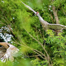 Wes Iversen - Sandhill Cranes Flyby
