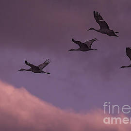 Priscilla Burgers - Sandhill Cranes In Flight