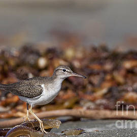 Ruth Jolly - Sandpiper along the beach
