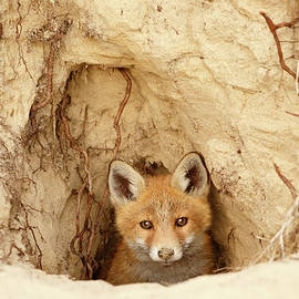 Roeselien Raimond - Sandy Nose - Red Fox Kit coming out of its den