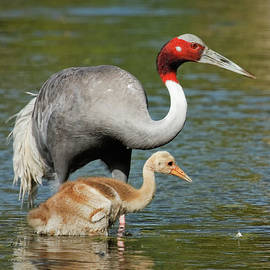 Dawn Currie - Sarus Crane Family Portrait
