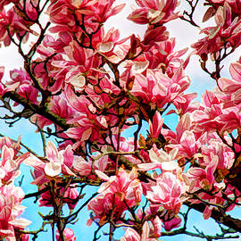 Allen Beatty - Saucer Magnolia Blossoms 2