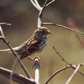 Aaron Rushin - Savannah Sparrow