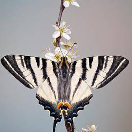Marco Fischer - Scarce Swallowtail
