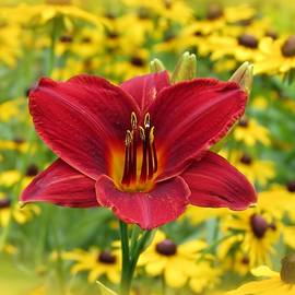MTBobbins Photography - Scarlet Gold - Daylily with Rudbeckia