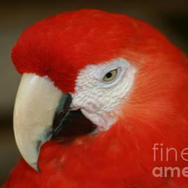 Sharon Mau - Scarlet Macaw Ara macao