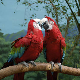 Thomas Woolworth - Scarlet MaCaws Kissing