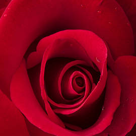 Denise Saldana - Scarlet Rose