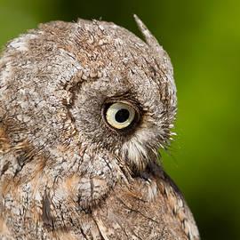 Roeselien Raimond - Screech Owl Portrait