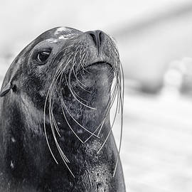 Darby Donaho - Sea Lion