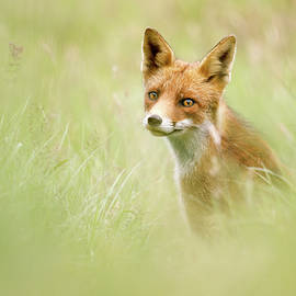 Roeselien Raimond - Sea of Green - Red Fox in the grass