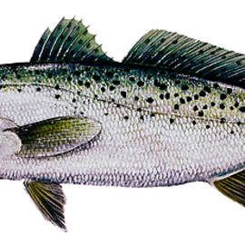 Kevin Brant - Sea Trout