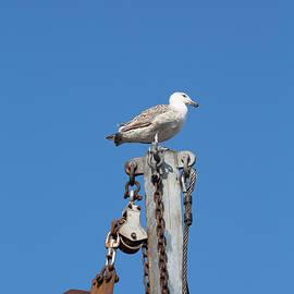 Allan Morrison - Seagull on a mast