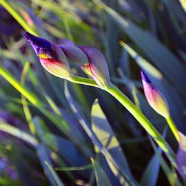 Tina M Wenger - Second Iris Blooms 2015