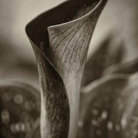 Clare Bambers - Sepia Calla Lily