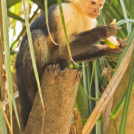 Natural Focal Point Photography - Serious White-Faced Capuchin Monkey
