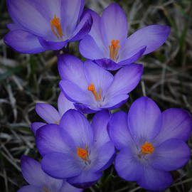 Richard Andrews - Seven Purple Crocuses