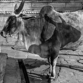 Kobi Amiel - Shadow of a bull
