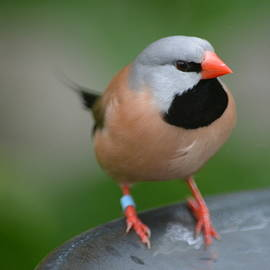 Don Columbus - Shaft-tailed Finch