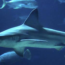 Gary Gingrich Galleries - Shark-9783
