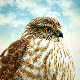 Tina LeCour - Sharp Shinned Hawk Portrait
