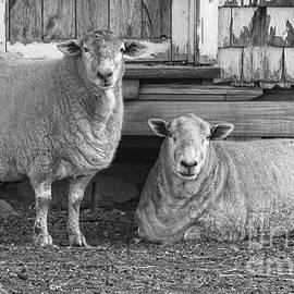Mim White - Sheep and Barn