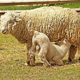 Geraldine Scull   - Baby Sheep And His Mama