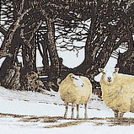 Alwyn Dempster Jones - Sheep in snow