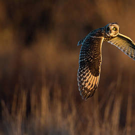 Max Waugh - Short-Eared Owl Banking