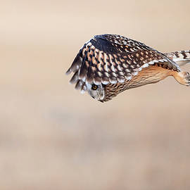 Jestephotography Ltd - Short Eared Owl -Look Out Below