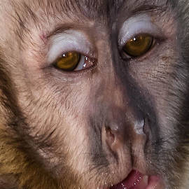 Gary Keesler - Shy Face Spider Monkey