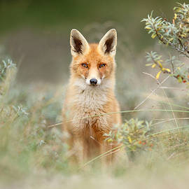 Roeselien Raimond - Shy Fox - Red Fox hiding behind the bushes
