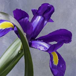 Diane Schuster - Shy Iris Peeking Out From Behind An Iris Leaf