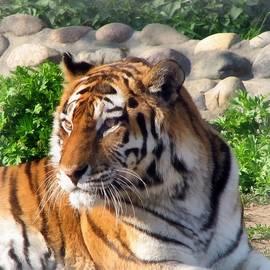 Sergey Lukashin - Siberian Tiger
