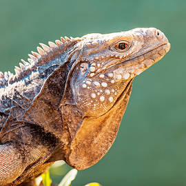 Side View Of Alert Grand Cayman Blue Iguana - Susan Schmitz