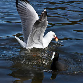 Miroslava Jurcik - Silver Gull And Australian Coot