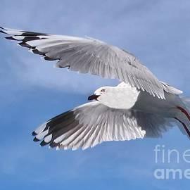 Geoff Childs - Silver Gull in Full Flight in  Blue Sky.  Exclusive Original stock Photo Art