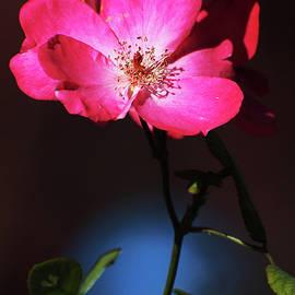 ArtyZen Studios - ArtyZen Home - Simple Pink Flower on Black Background