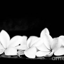 Sharon Mau - Singapore White Plumeria Flowers the Fragrance of Hawaii