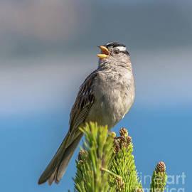 Marv Vandehey - Singing Sparrow