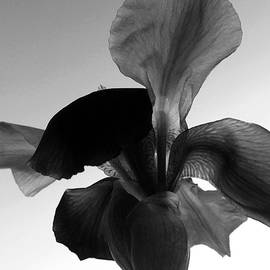 Tina M Wenger - Single Black Iris 2015
