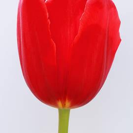 Allen Beatty - Single Red Tulip on White